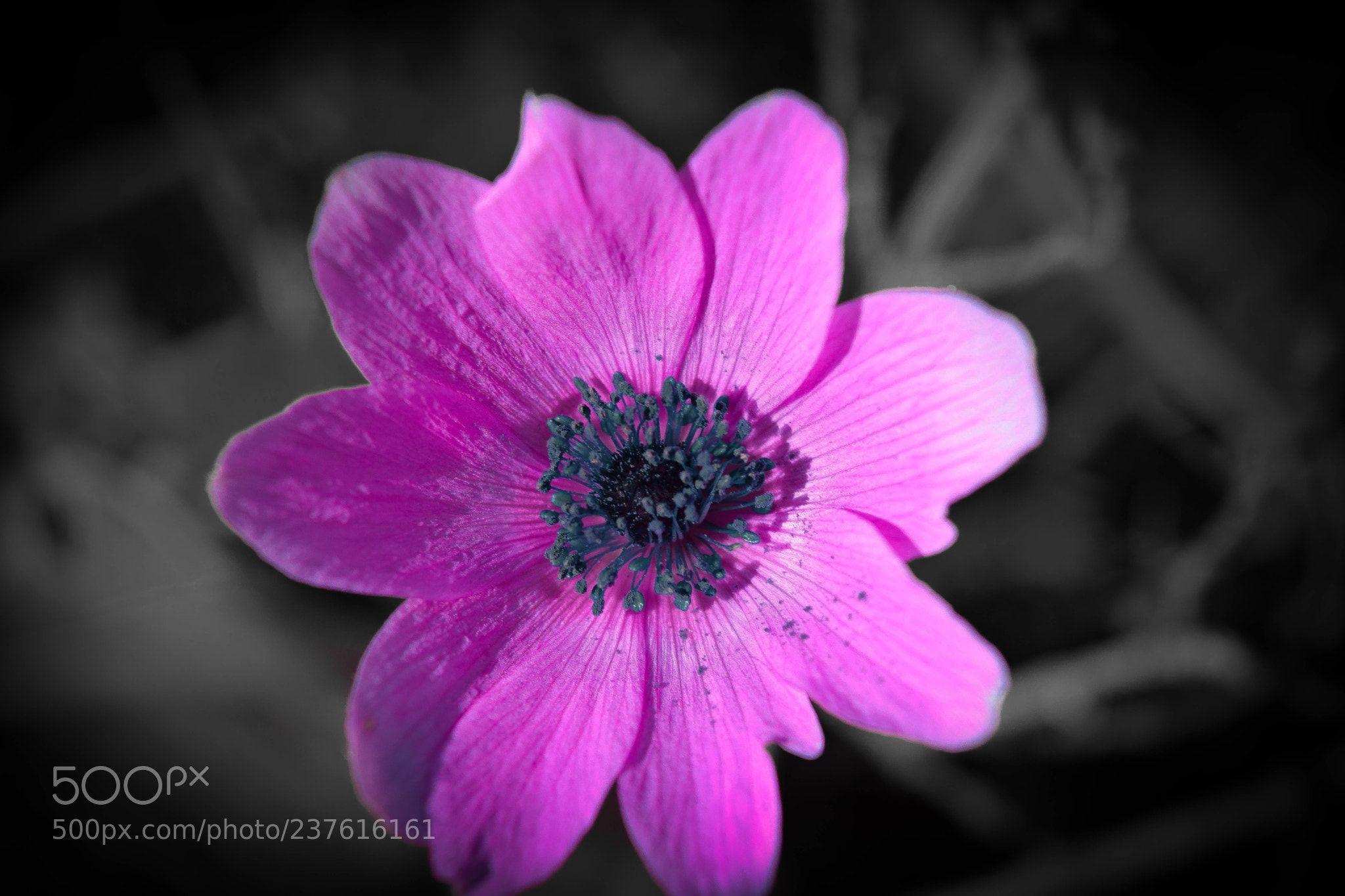 Pink Black Flower Chris Manos Corfu Greece Nikon D3300 Macro