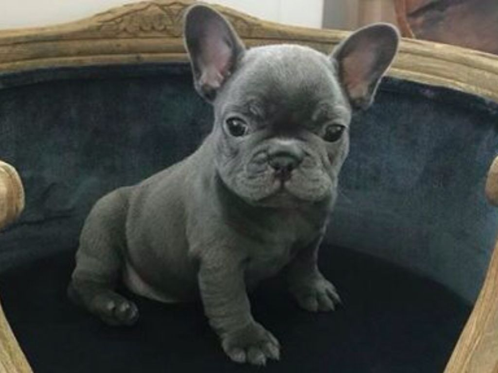 blue french bulldog puppy | boubou d'amour | chiots