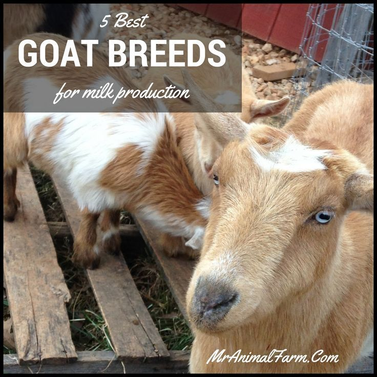 milk goat breeds - Parfu kaptanband co