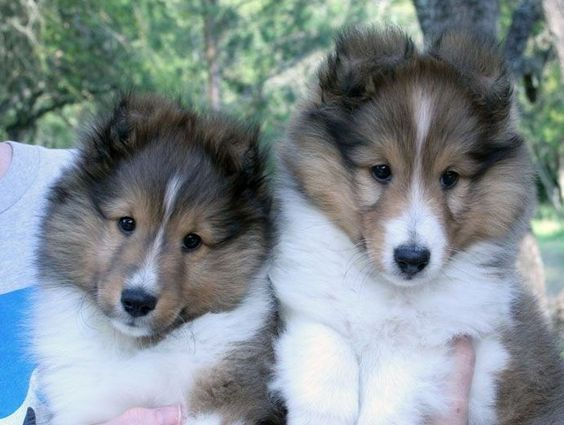 Showbreeding Dogs For Sale Sheltie Puppies For Sale Shelties For