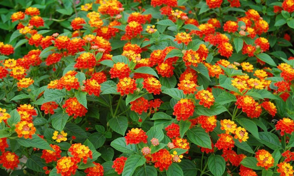 Lantana camara Es una planta de hoja caduca Mide de 1 a 3 metros