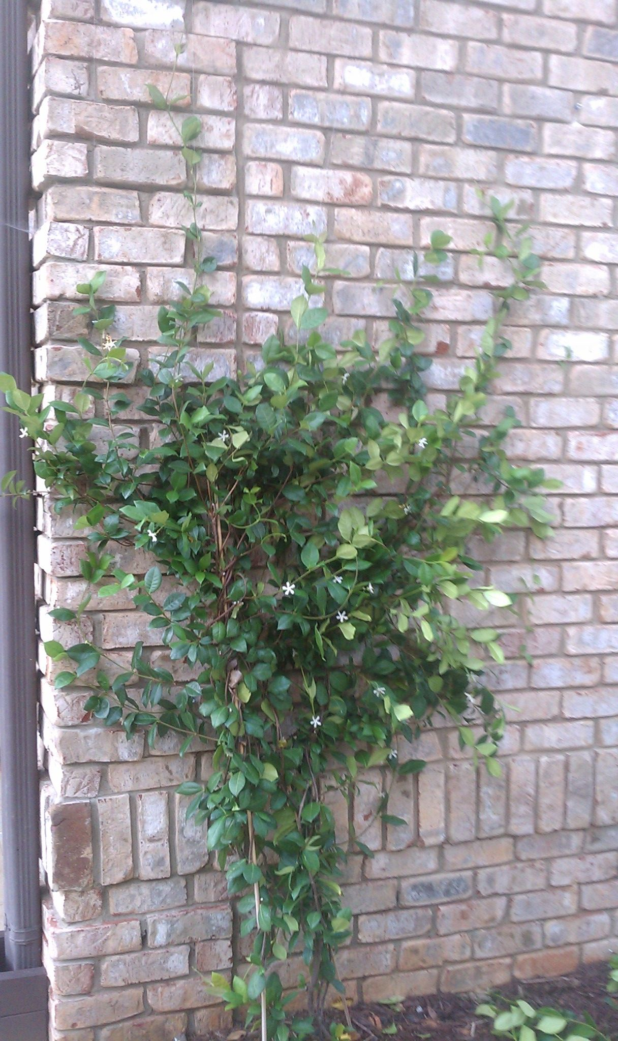 Train Your Plants Year One Of A Confederate Jasmine Vine