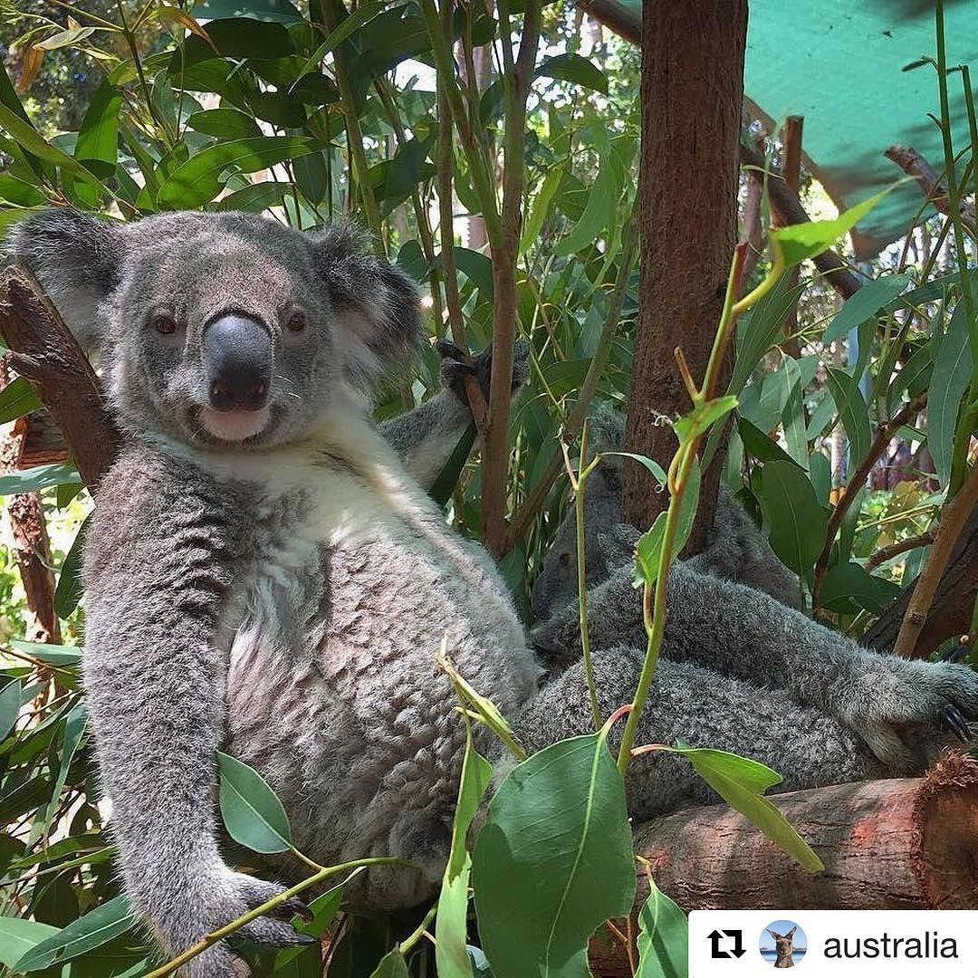Un Amigo Descansando Y Posando Koala Koala Koalastyle Koala Bear Koala Koala Marsupial