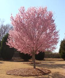 Okame Cherry Tree Cherry Trees Garden Garden Trees Tree