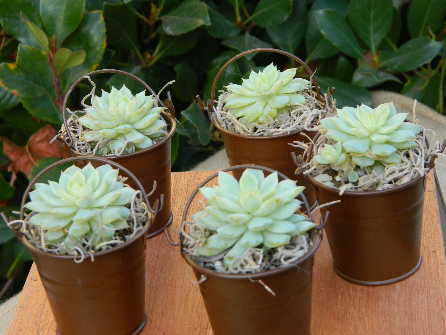 Succulent Wedding Favor, Succulent Bridal Shower Favor, Rustic Wedding Favor, Succulent Plants, Garden Party Favor, Mini Succulent. $36.00, via Etsy.