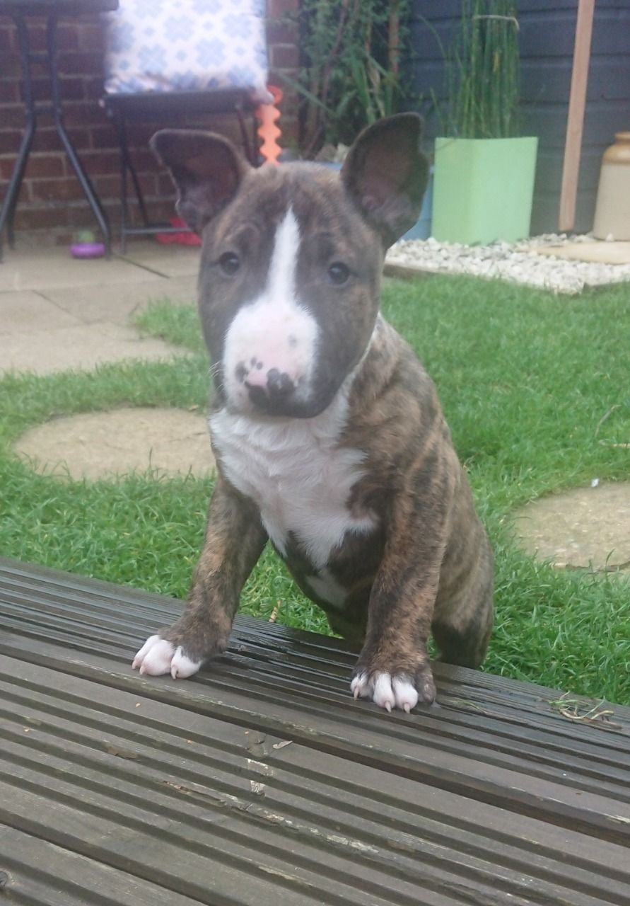 Meet Bull terrier puppies in , LONG BEACH CA, stunning