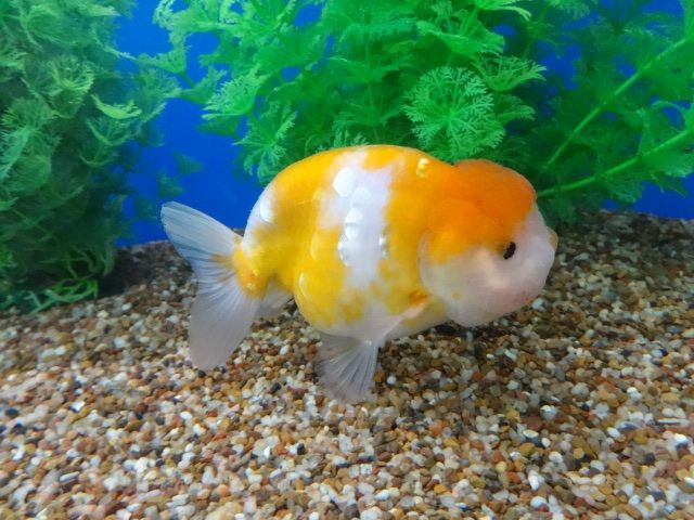 Yellow Sakura Ranchu Very Rare Coloration Goldfish Aquarium Fish Fish