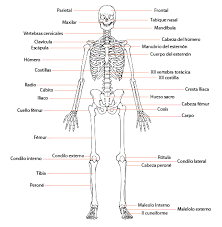 Resultado de imagem para esqueleto humano imagen para imprimir