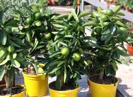 sementes de mini limoeiro plante em vasos limoeiro anão