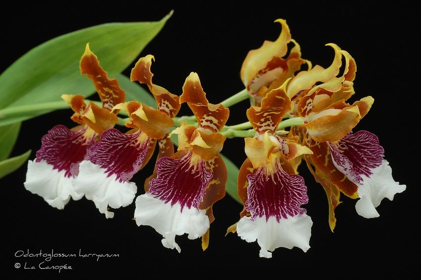 Odontoglossum Harryanum Orchid Forum By The Orchid - Orchideen Forum