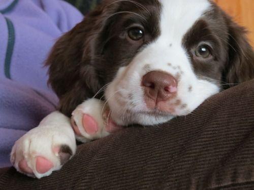 Cindy Johnson Contact Me Dararea Hotmail Com Spaniel Puppies English Springer Spaniel Puppy Springer Spaniel Puppies