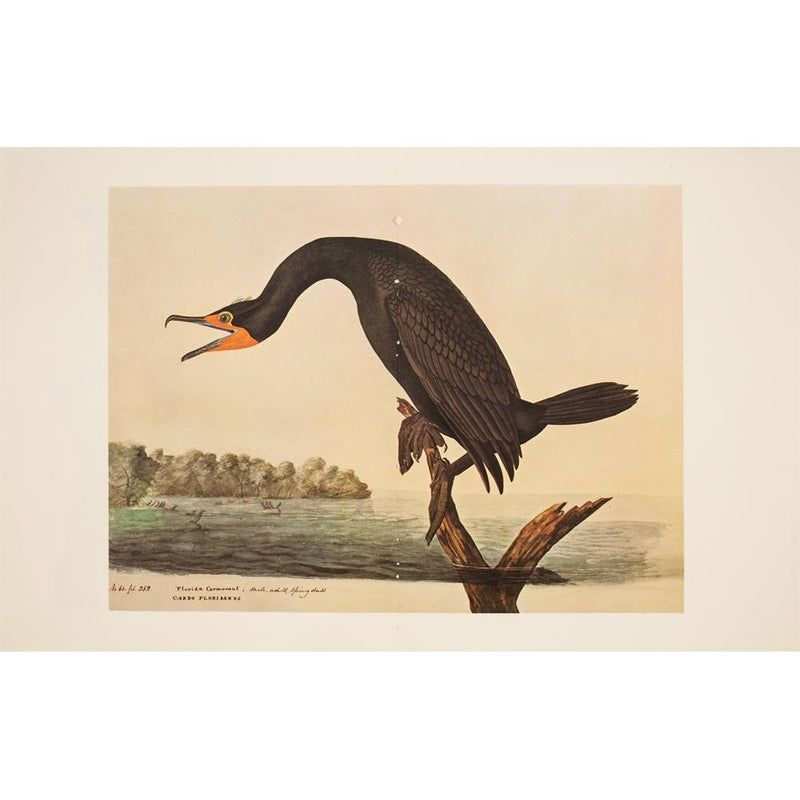 Xl Audubon Print Of Florida Cormorant 1966 Birds Of America