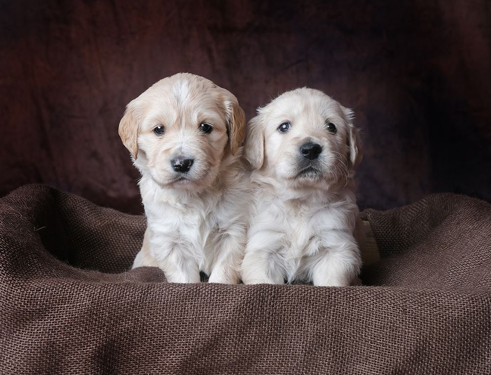 Comfort Retriever And Comfort Goldendoodle Litters Comfort