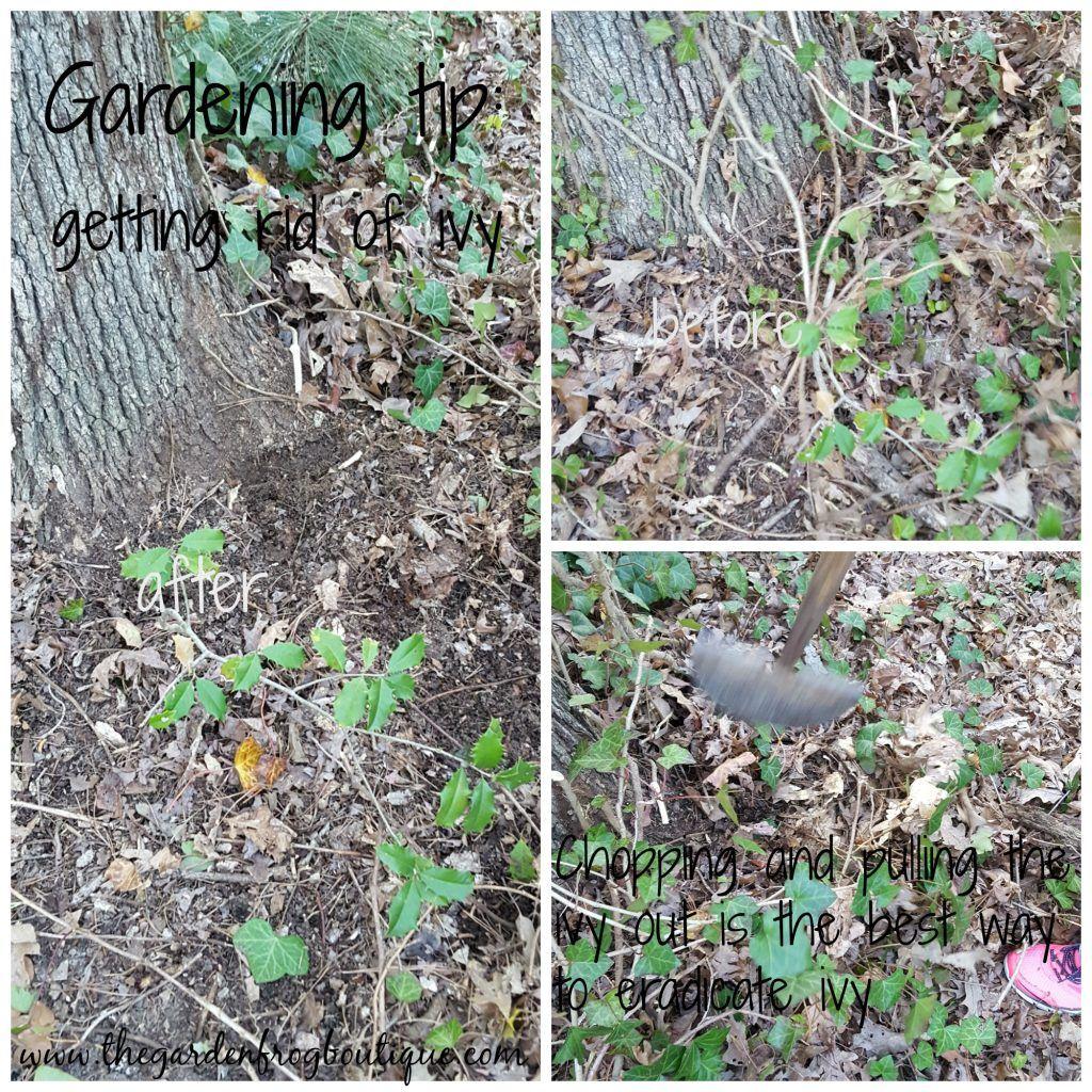 Gardening tip: getting rid of ivy | Garden yard ideas ...