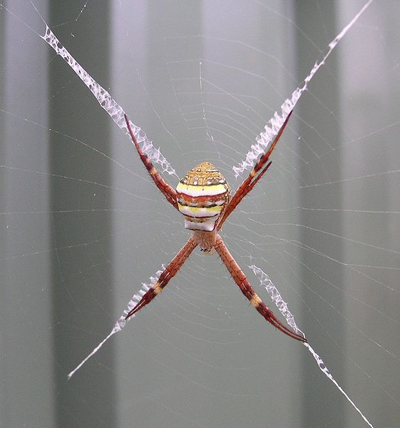 St Andrews Cross Spider Wikipedia Admittedly I Am Obsessed