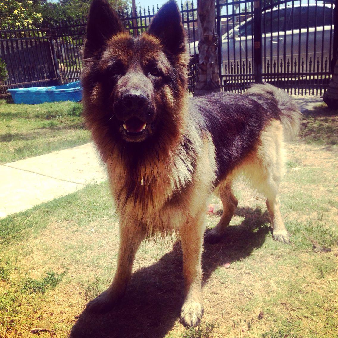 German Shepherd  , love my baby ❤️