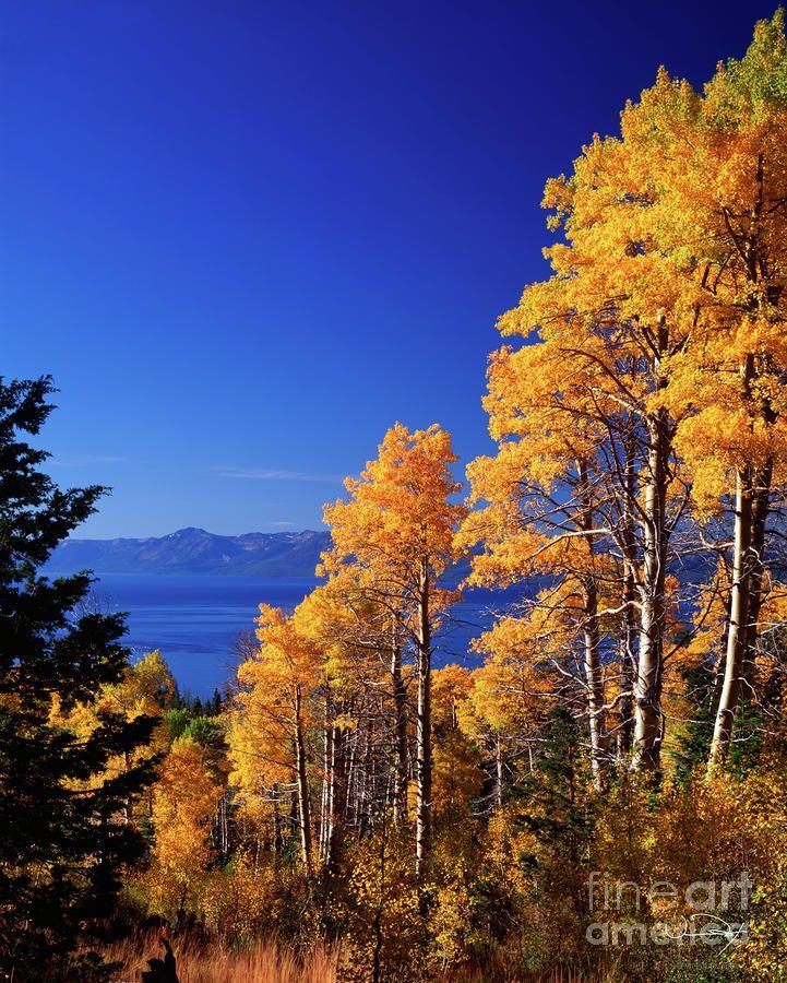 Aspens In The Fall Lake Tahoe By Vance Fox Autumn Lake Lake Tahoe Tahoe