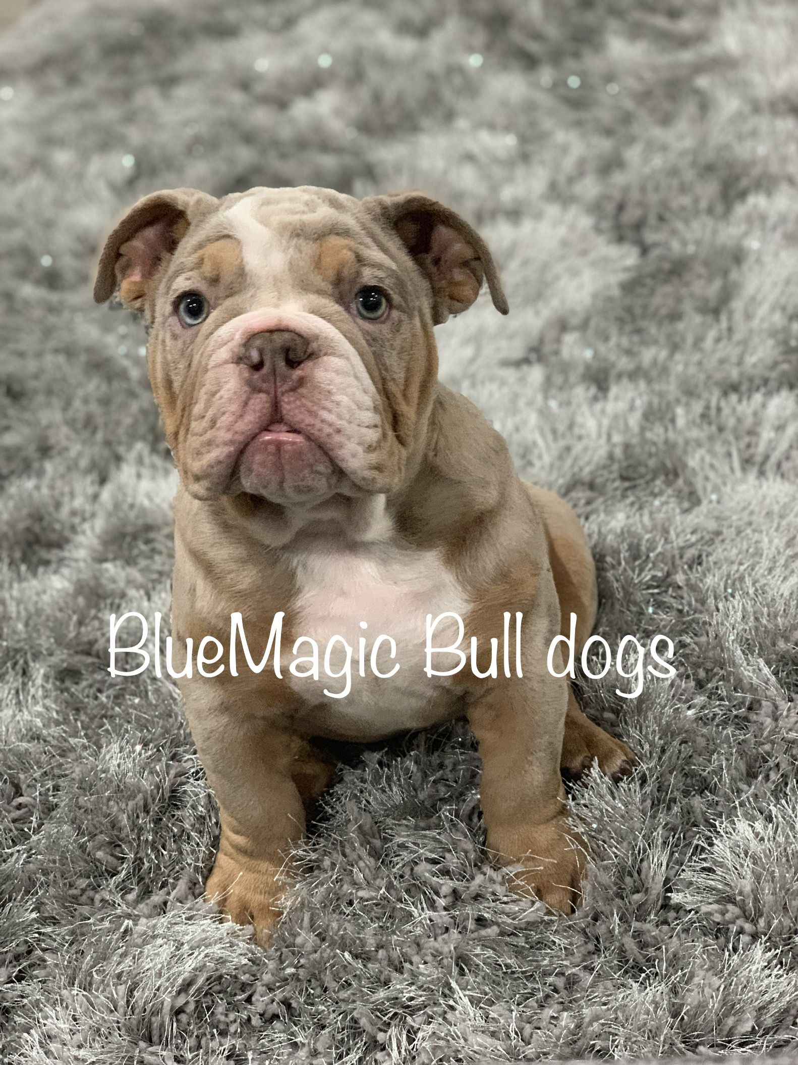 Lilac Merle English Bulldog Bulldog