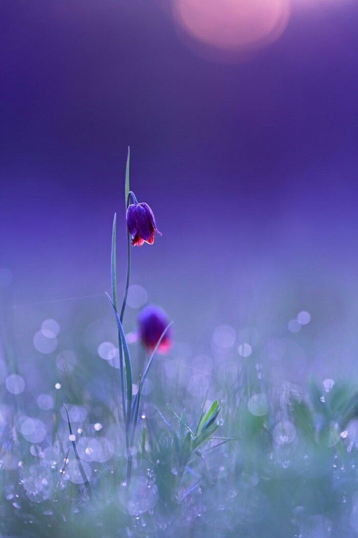 Purple flowers with dew drops