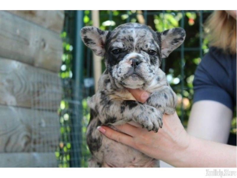 French Bulldog Puppies For Sale In Florida French Bulldog Puppies For Sale In Florida And Geo French Bulldog Puppies Bulldog Puppies Bulldog Puppies For Sale