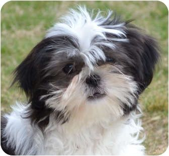 If You Believe Good Things Come In Small Packages You Re Right Sasha Is A Pocket Sized Princess One Of A Litter Of 3 Pur With Images Shih Tzu Shitzu Dogs Crazy Dog