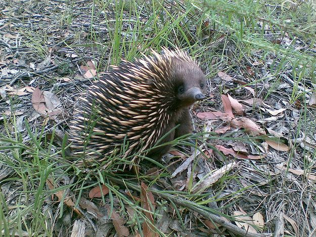 Which Aussie Animal Matches Your Zodiac Sign Echidna Animals