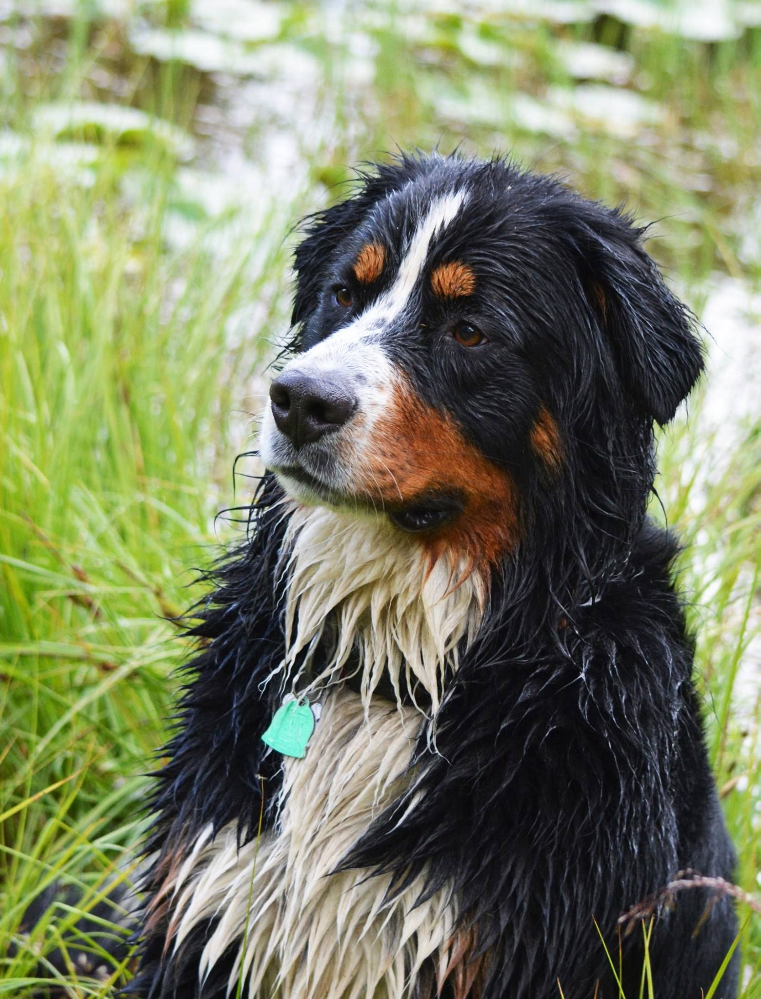 Kenai The Bernese Quarter Boarder Collie In The Uinta Mountains