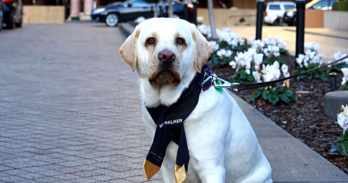 This delightful labrador has been hired as this hotel's