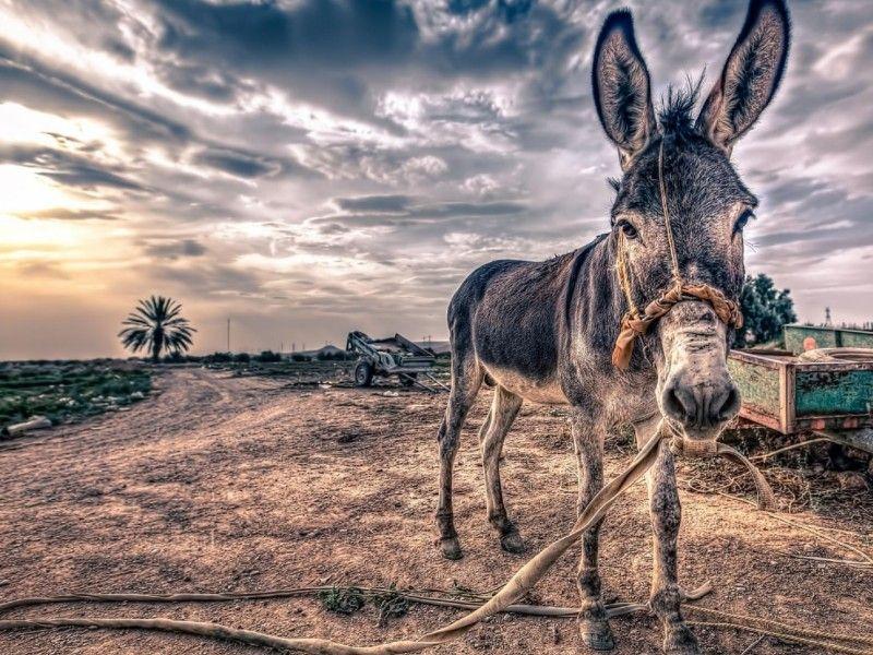 Les Fonds D Ecran Un Ane Au Milieu D Un Chemin Photos De Chevaux Cheval Ane