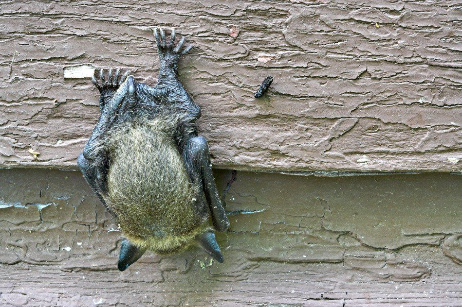 How To Attract Bats To Garden Getting Rid Of Bats How To Attract Bats Bats In Attic