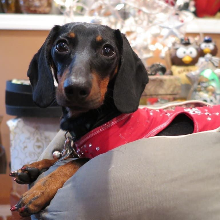 Christmas Sausage Dog Christmas Dachshunds Christmas Doxies
