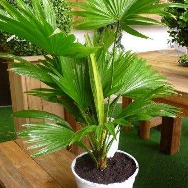 livistona rotundifolia palmier plantes dintrieur plantes jardiland - Osier Vivant Jardiland