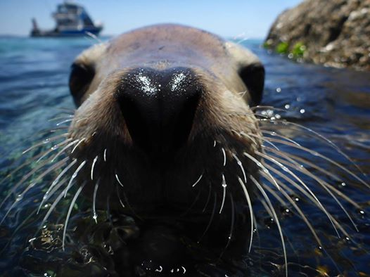 The Australian Sea Lions At Port Lincoln Certainly Aren T Camera Shy From Australia Com Animal Close Up Sea Lion Australia