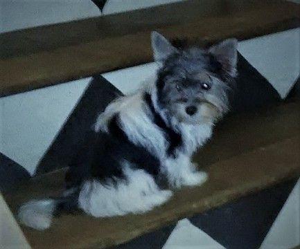 Biewer Yorkie Puppy For Sale In Fairfield Oh Adn 21019 On