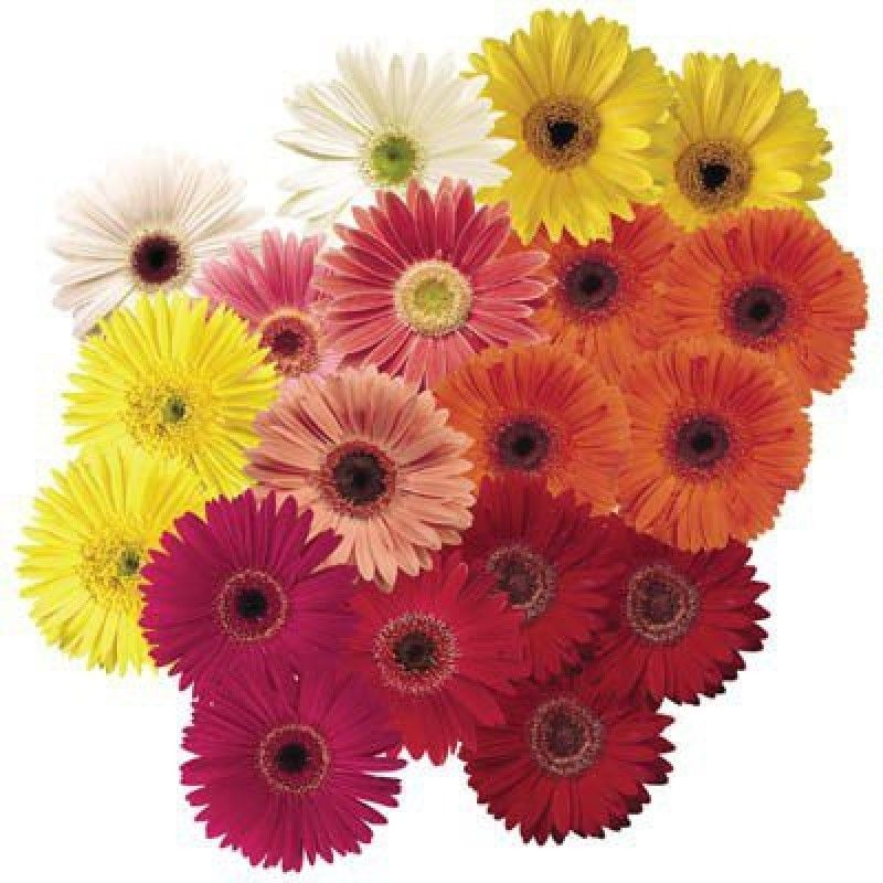 Kraft Seeds 15 Gerbera California Giant Mix Pack Of 2 800x800 Imae998yagt6zhxr Jpeg 800 800 Pixels Flower Seeds Gerbera Flowers