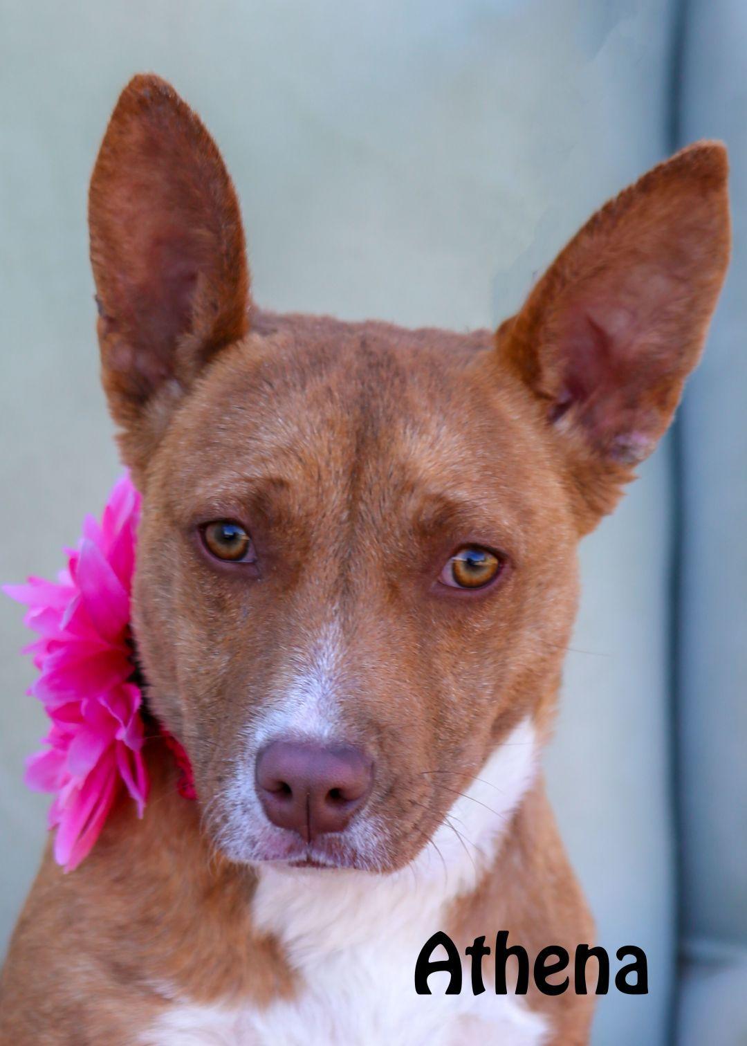 Adopt Athena on Toy manchester terrier, Dog adoption