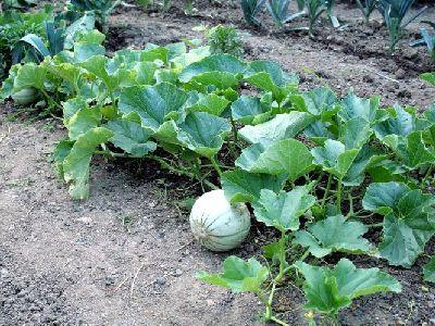 planter un melon