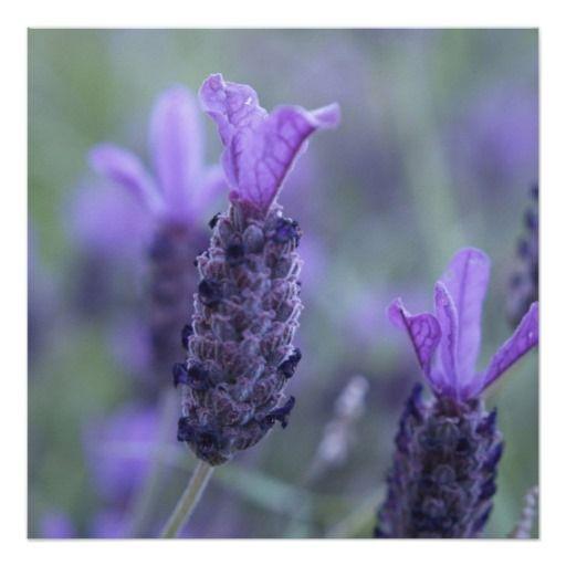 Lavender Flower Photo Invitations Zazzle Com In 2020 Lavender Plant Growing Lavender Spanish Lavender
