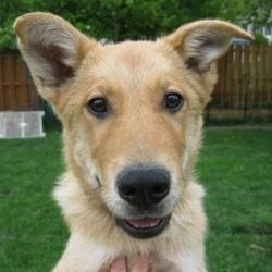 Adopt Chomper On Petfinder Shepherd Dog Mix Dog Mixes Rescue Dogs
