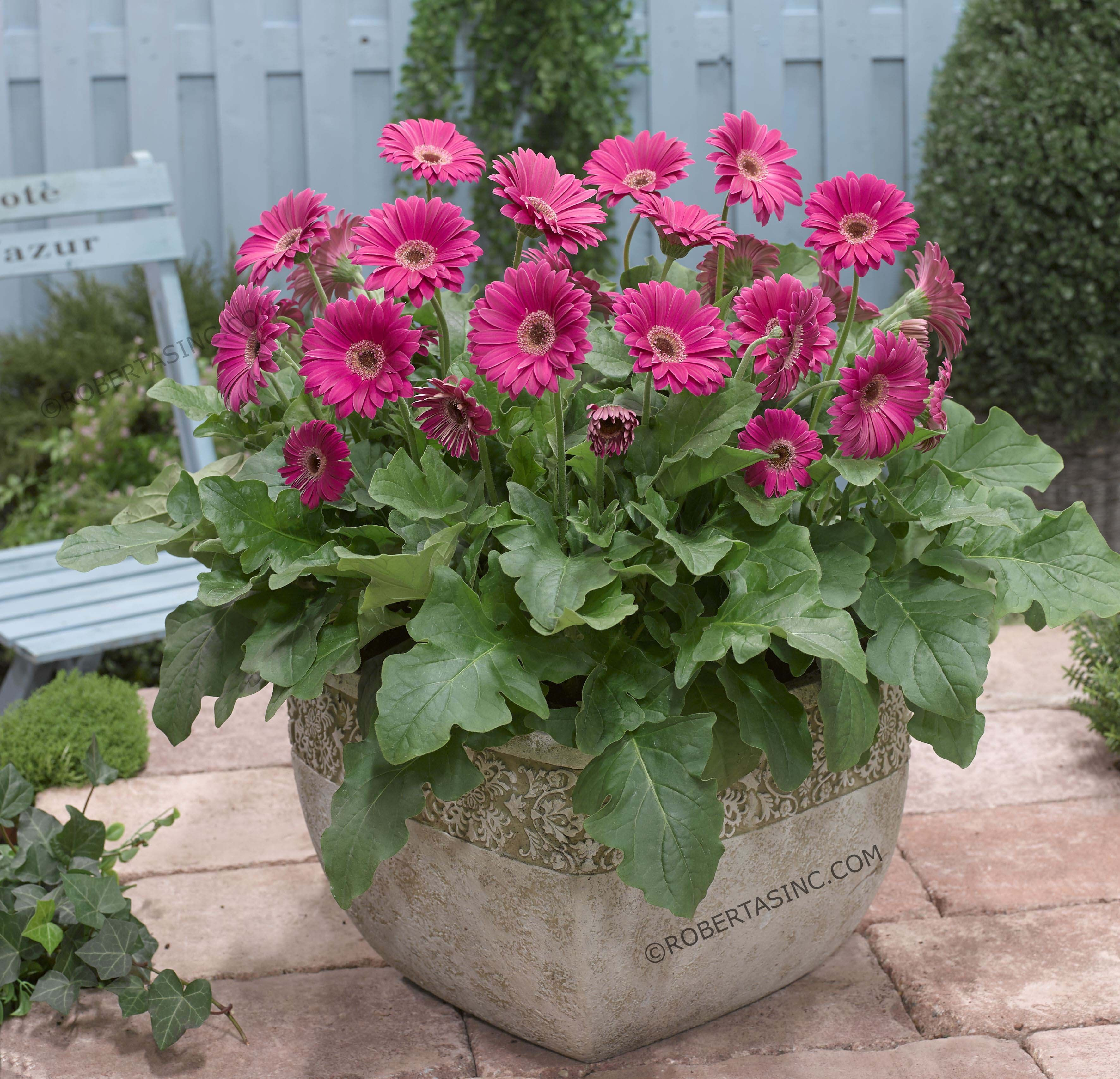 Gerber daisies in a container container gardening for Gerbera in de tuin