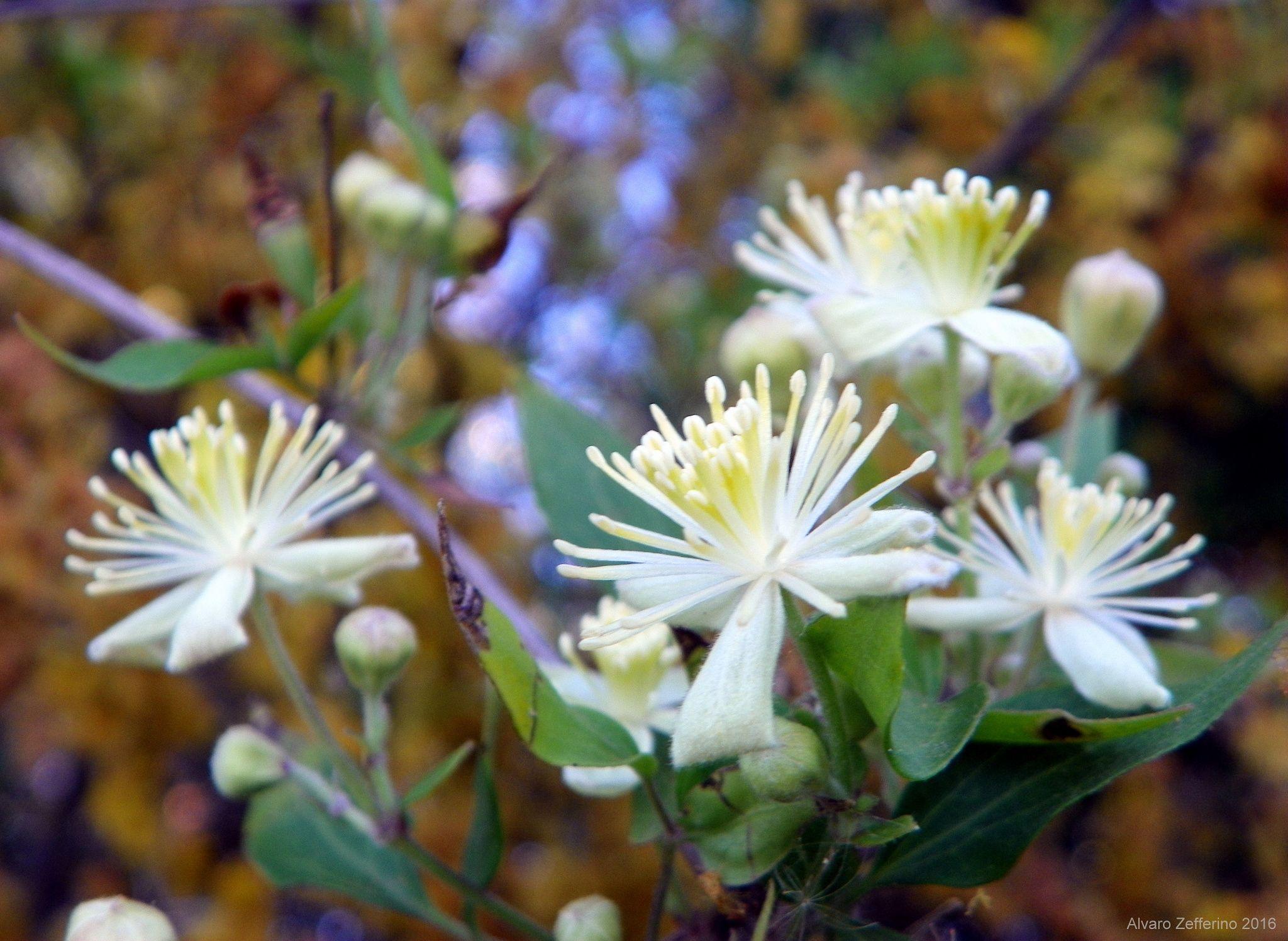 Pequenas Flores Silvestres Blancas Y Amarillas Pequenas Y
