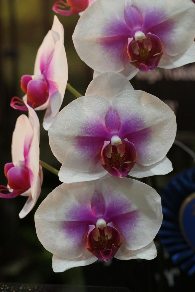 Phalaenopsis Hybrid 2 Rare Flowers Orchid Flower Beautiful Flowers