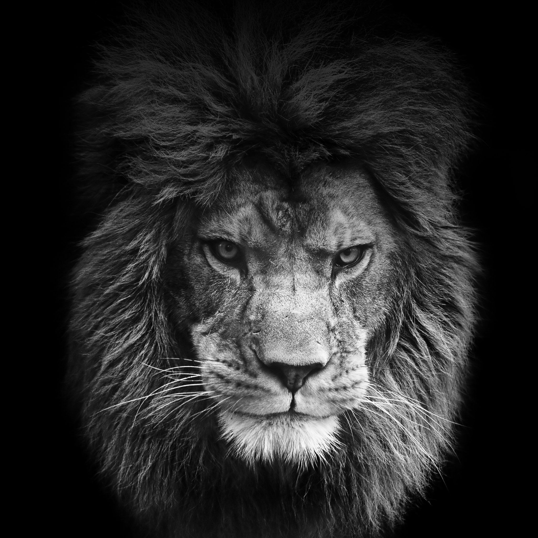 Free Download Lion Roar Iphone Wallpaper Wallpapers Background For Desktop Mobile Tablet 2048x2048 Black And White Lion Lion Wallpaper Lion Photography