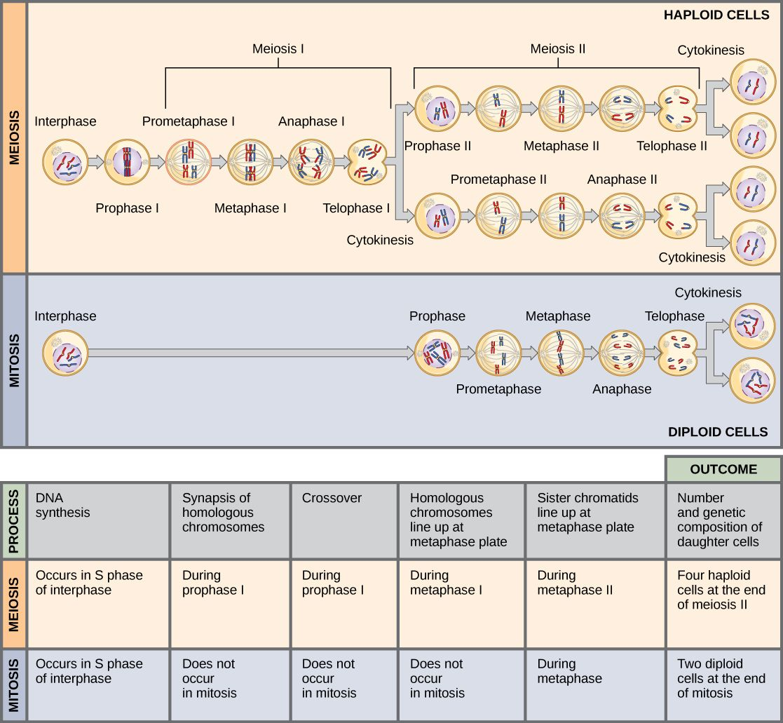 This Illustration Compares Meiosis And Mitosis In Meiosis There