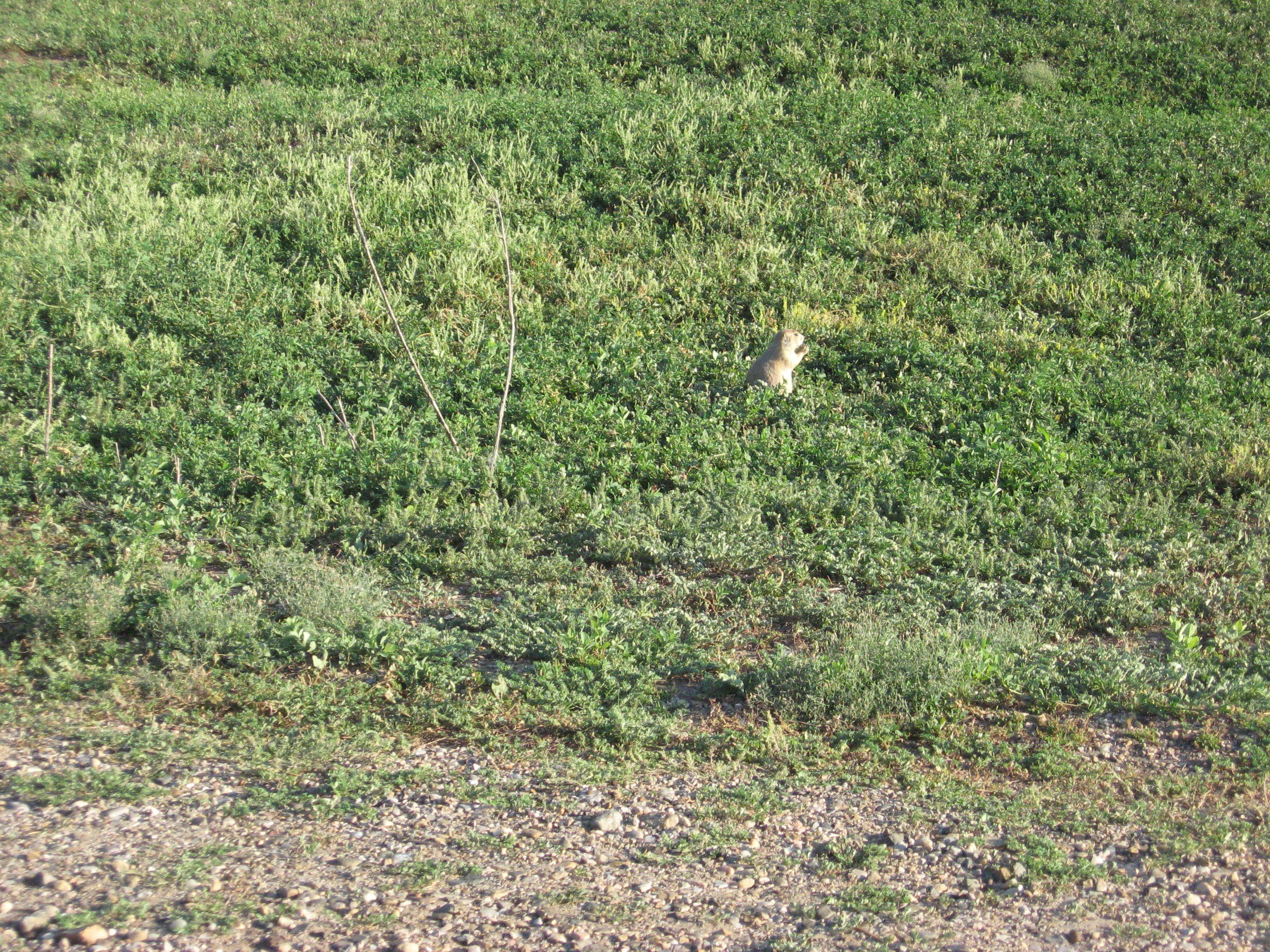The Badlands, South Dakota - Prairie dog.