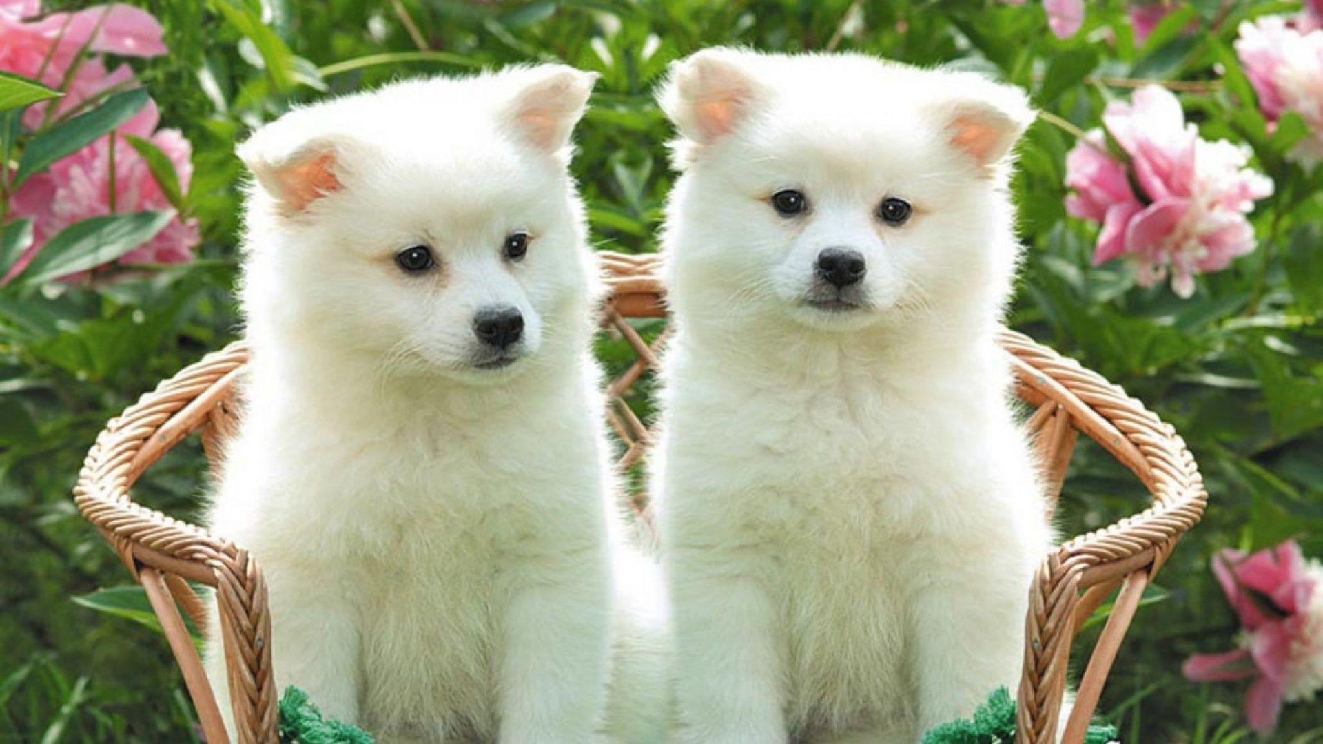 Cute White Puppies Widescreen Wallpaper 1920x1080 Samye Milye Zhivotnye Amerikanskij Eskimosskij Shpic Milye Shenki