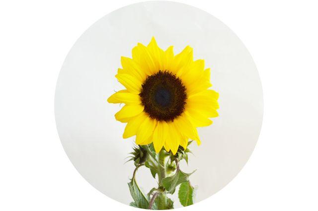 adoro FARM - floriografia: girassol