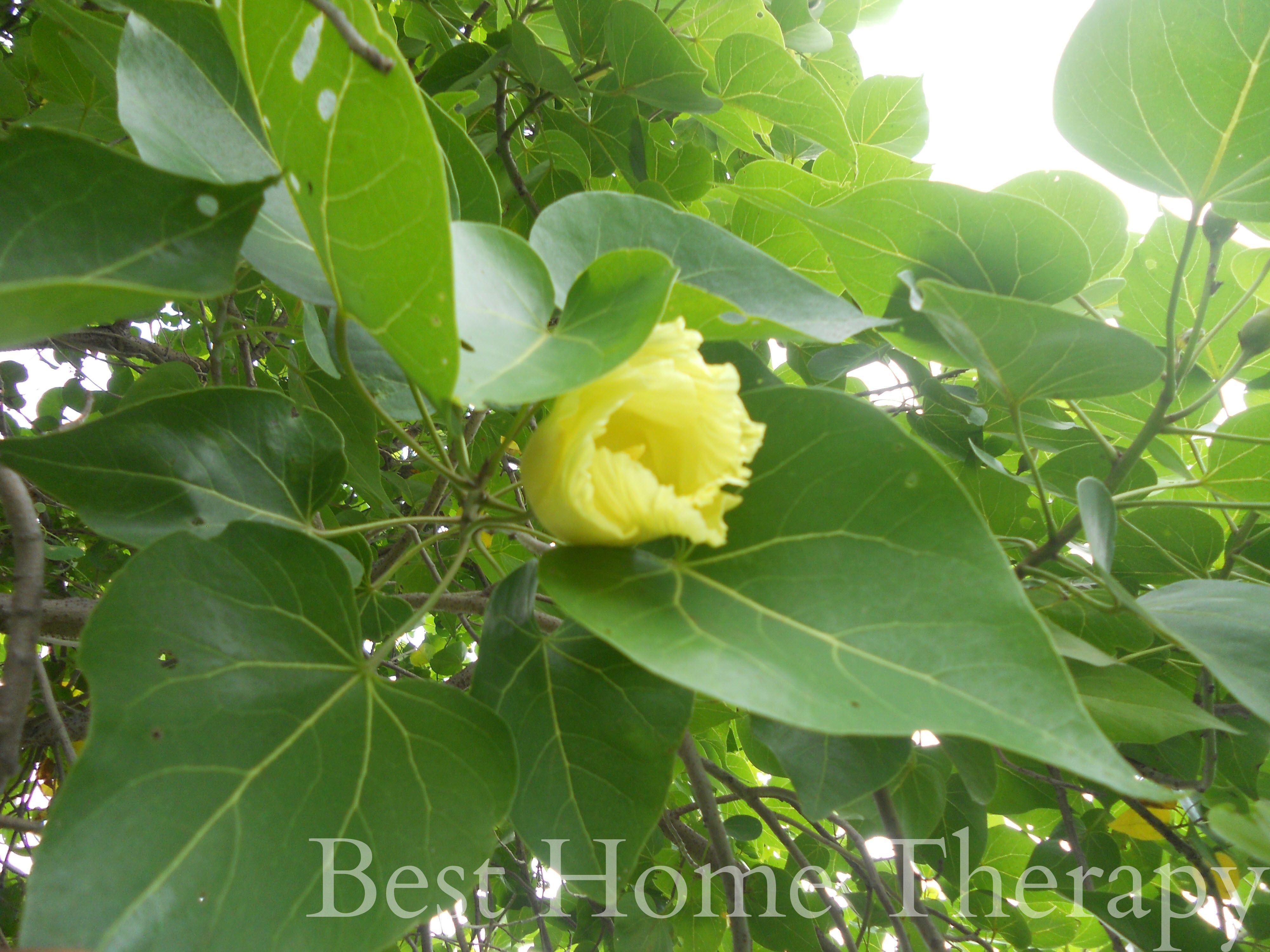 Treat Ringworms Padarthamarai In Tamil Naturally Remedies Nature Treats