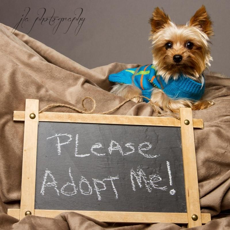 Adopt Carter on Yorkshire terrier dog