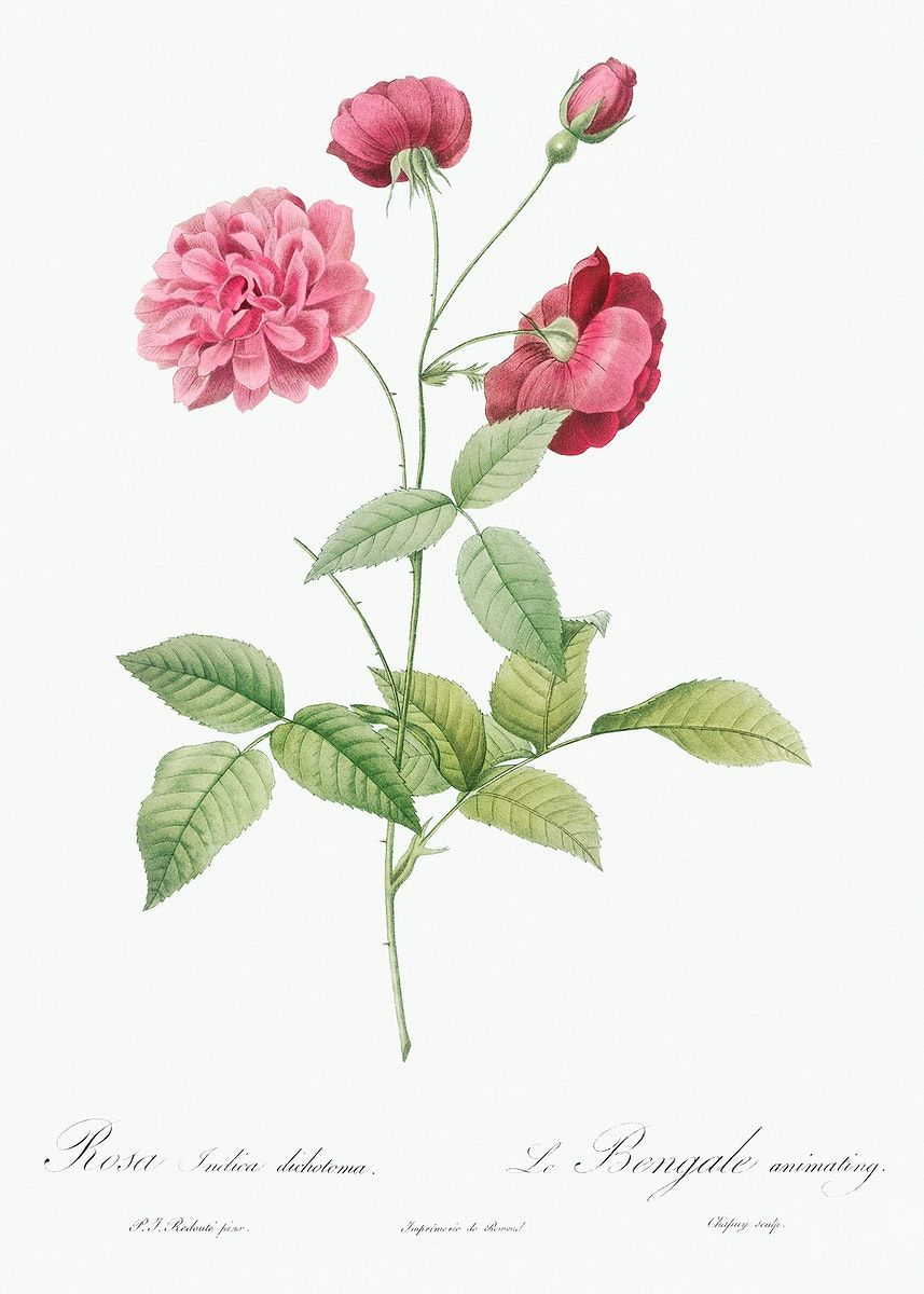 China Rose Also Known As Bengal Animating Rosa Indica Dichotoma From Les Roses 1817 Ndash 1824 By Pierre In 2020 Flower Prints Art Flower Illustration China Rose
